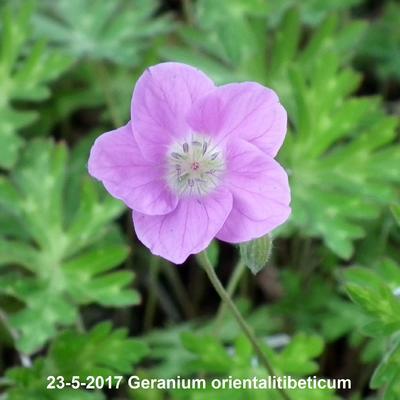 Geranium orientalitibeticum -