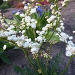 Knolspirea - Filipendula vulgaris 'Plena'