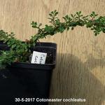 Cotoneaster cochleatus - Cotoneaster cochleatus - Kleinbladige dwergmispel