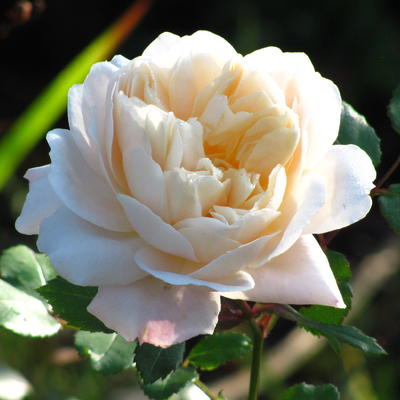 Rosa 'Crocus Rose' -