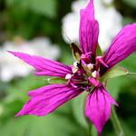 Geranium x oxonianum 'Catherine Deneuve' - Geranium x oxonianum 'Catherine Deneuve' - Ooievaarsbek
