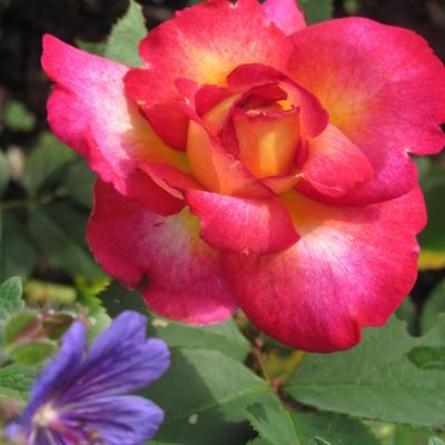 Rosa 'Bolshoï' -