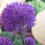 Allium aflatunense - Allium aflatunense - Sierui