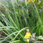 Carex oshimensis 'Evergreen' - Zegge, Japanse zegge