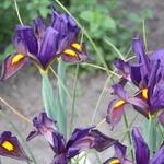 Iris x hollandica 'Eye of the Tiger' - Iris x hollandica 'Eye of the Tiger' - Hollandse boliris