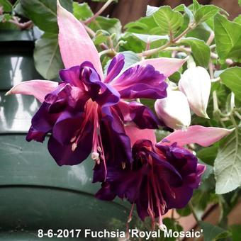 Fuchsia 'Royal Mosaic'