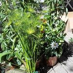 Cyperus haspan - Cyperus haspan - Parapluplant, Dwergpapyrus, Dwergcypergras
