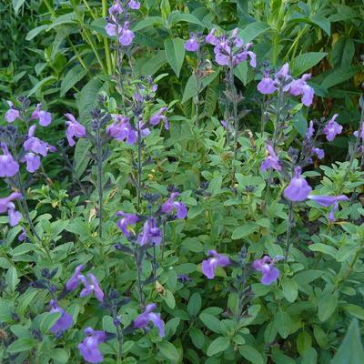 Salvia x jamensis 'Javier' -