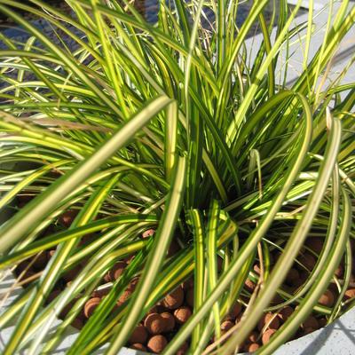 Carex oshimensis 'Eversheen' -