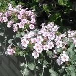 Sutera cordata SCOPIA 'Great Pink Beauty' - Bacopa