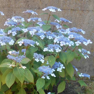 Hydrangea serrata 'Bluebird' -