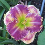 Hemerocallis 'Answering Angels' -