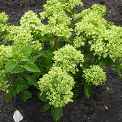 Hydrangea paniculata 'Jane' -