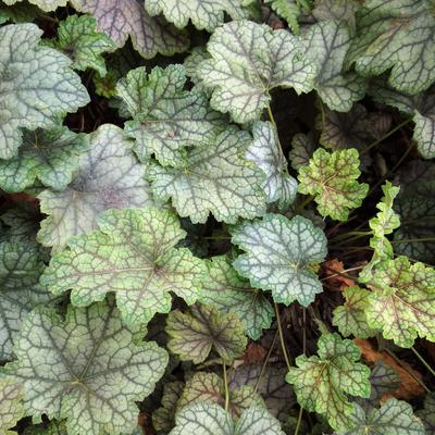 Heuchera 'Mystic Angel' -