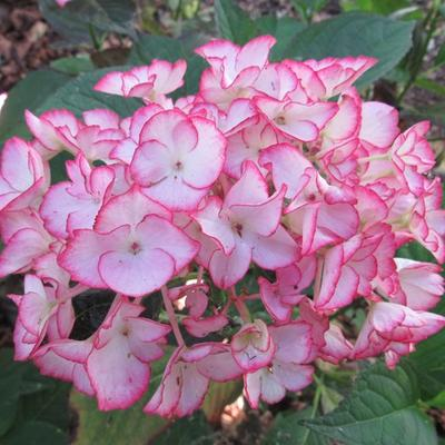 Hydrangea macrophylla 'Salsa' -