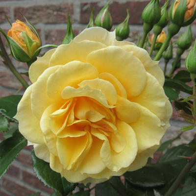 Rosa 'Foxtrot' -