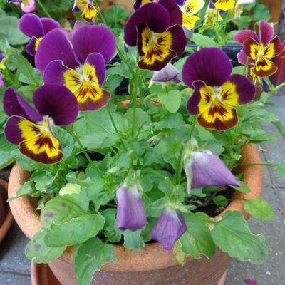 Viola cornuta 'Bambini' -