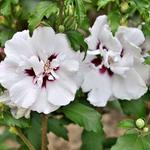Hibiscus syriacus 'Speciosus' - Altheastruik - Hibiscus syriacus 'Speciosus'