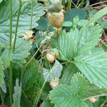 Fragaria vesca 'Yellow Wonder' - Gele aardbei