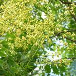 Koelreuteria paniculata - Koelreuteria paniculata - Zeepboom, Lampionboom, blaasjesboom