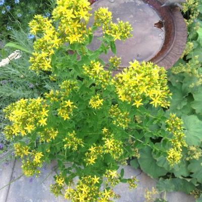 Hypericum   moserianum -