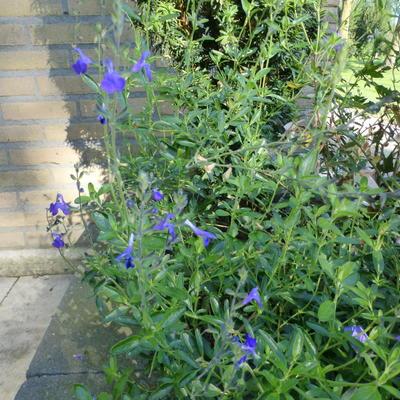 Salvia greggii 'Blue Note' - Salie - Salvia greggii 'Blue Note'