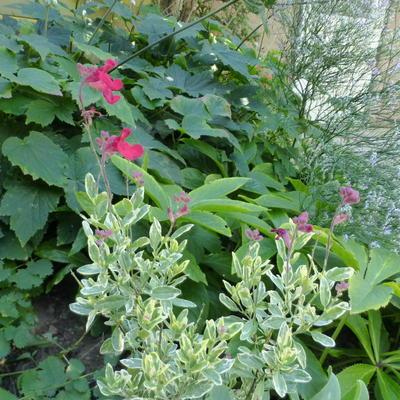 Salvia greggii 'Desert Blaze' -