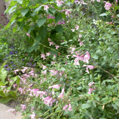 Salvia greggii `Stormy Pink' -