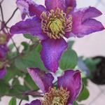 Clematis 'Exciting' - Bosrank