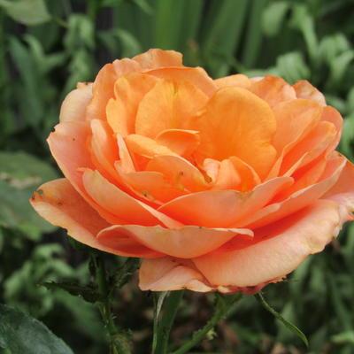 Rosa 'Bengali' -