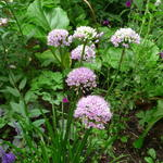 Allium senescens subsp. montanum 'Summer Beauty' - Sierui, Berglook