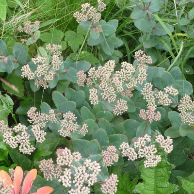 Sedum telephium subsp. ruprechtii -