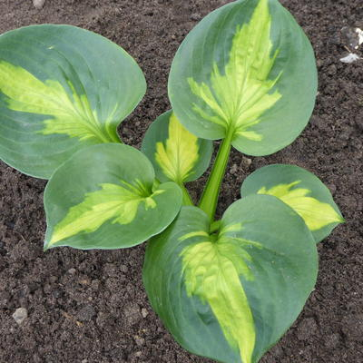 Hosta 'Sunset Grooves' -