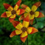 Bidens 'Beedance Painted Red' - Tandzaad