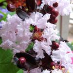 Lagerstroemia indica 'BLACK SOLITAIRE Blush' - Indische sering