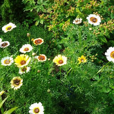 Chrysanthemum carinatum 'Cockade' -