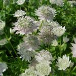 Astrantia major 'Berendien Stam' - Zeeuws knoopje