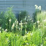 Camassia leichtlinii 'Alba' - Prairielelie - Camassia leichtlinii 'Alba'