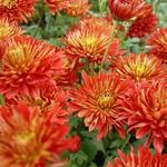 Chrysant - Chrysanthemum indicum 'Brennpunkt'