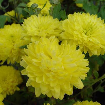 Chrysanthemum indicum 'Citronella' -