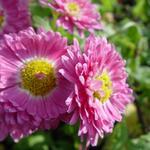 Chrysanthemum indicum 'Corinna' - Chrysant - Chrysanthemum indicum 'Corinna'