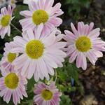 Chrysanthemum koreanum  'Hebe' - Chrysant - Chrysanthemum koreanum  'Hebe'