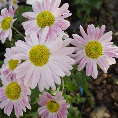Chrysanthemum koreanum  'Hebe' -
