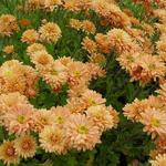 Chrysanthemum indicum 'Kleiner Bernstein' - Chrysant - Chrysanthemum indicum 'Kleiner Bernstein'