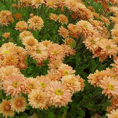 Chrysanthemum indicum 'Kleiner Bernstein' -