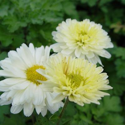 Chrysanthemum indicum 'Poesie' -
