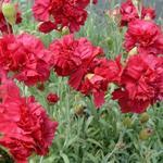 Dianthus plumarius 'Heidi' - Grasanjer - Dianthus plumarius 'Heidi'