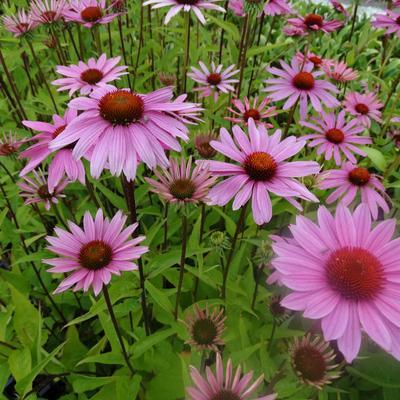 Echinacea purpurea 'JS Pink Prairie' -