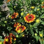 Helenium 'Can Can' - Zonnekruid