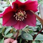 Nieskruid - Helleborus orientalis 'PRETTY ELLEN Red'